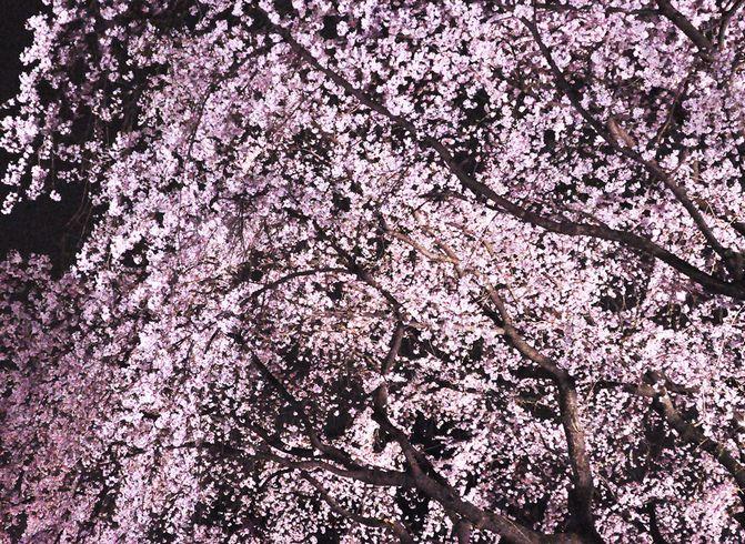 夜桜 大阪