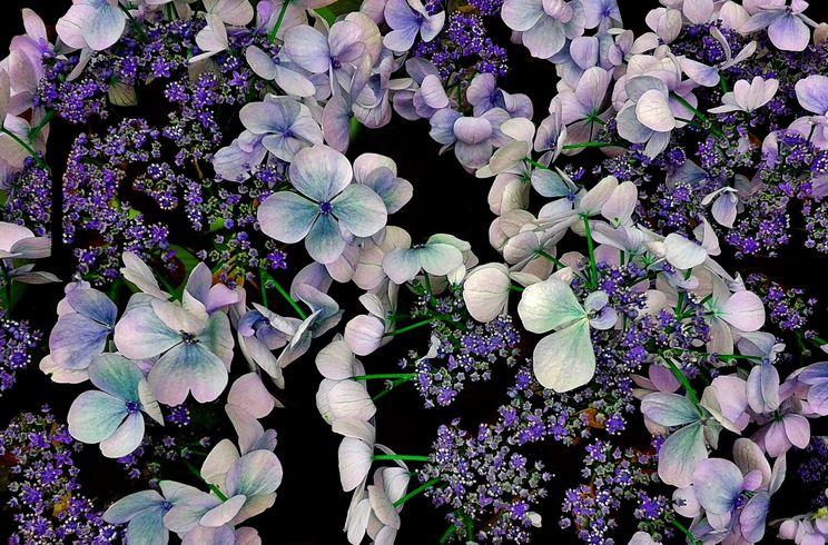 大阪 紫陽花