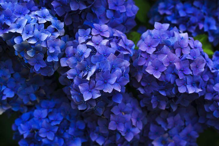 紫陽花 休日