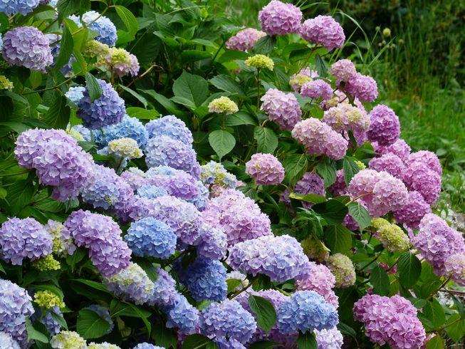 体験 紫陽花